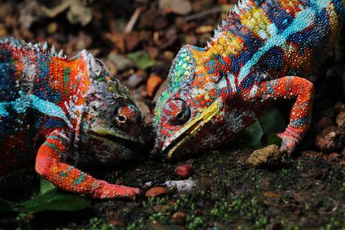 Kampf der Titanen. Zoo 2 Tier Brunft kämpfen Aggression exotisch nah verrückt stachelig Wut mehrfarbig Kraft Feindseligkeit Chamäleon maskulin Reptil Echsen