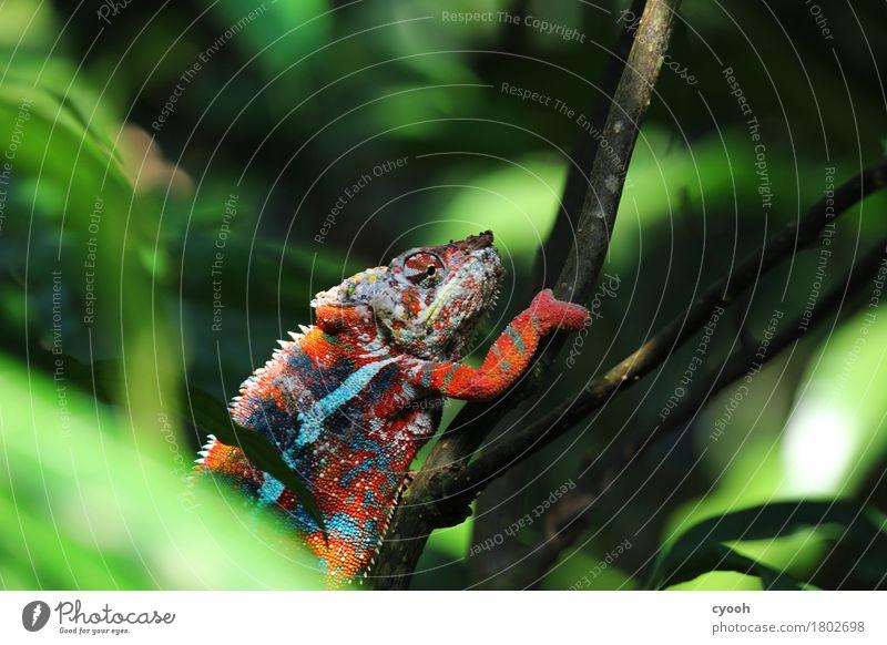 Der Sieger darf nach oben.. 1 Tier genießen Reptil Chamäleon Farbenspiel gemütlich langsam Pause ruhig Erfolg Klettern Zeitlupe mehrfarbig irre verrückt