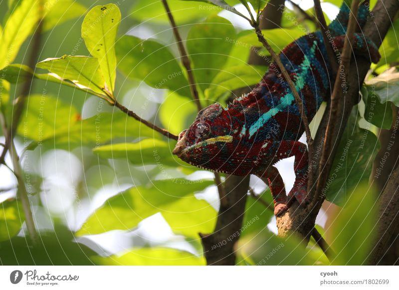 Chamäleon. Baum Tier ruhig Zeit Zufriedenheit Sträucher verrückt warten beobachten Pause Gelassenheit Zoo bewegungslos Langeweile skurril gemütlich