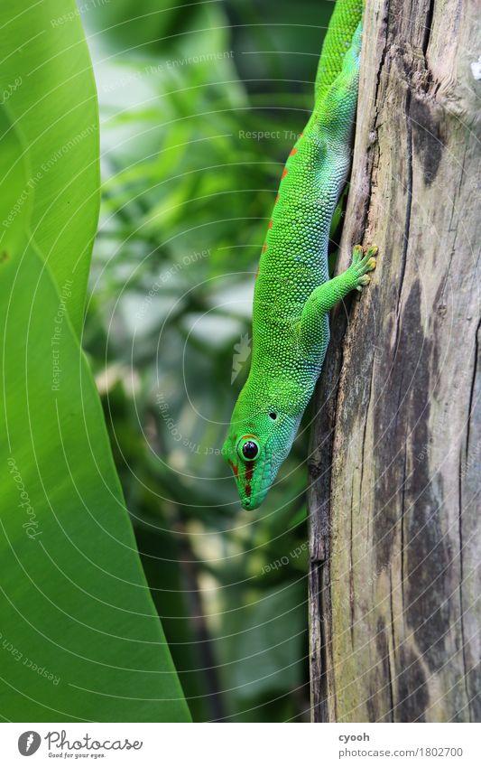 Gecko. Zoo 1 Tier hocken grün Echsen Reptil Auge Schuppen warten beobachten Versteck Tarnfarbe Tarnung Pause ruhig gemütlich Geschwindigkeit beweglich