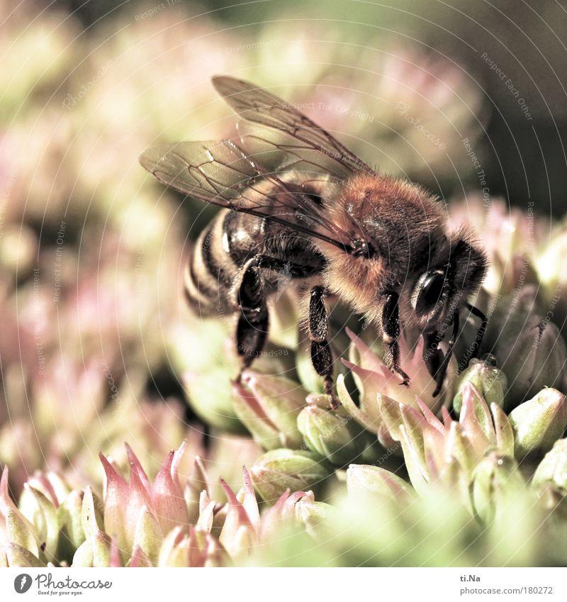 die fette Henne Umwelt Natur Landschaft Pflanze Tier Sommer Herbst Schönes Wetter Fetthenne Bodendecker Crassula Nutztier Biene Blühend Duft Fressen genießen