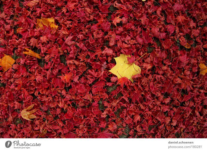 roter Herbst mit bißchen Gelb Natur Blatt gelb Park Wandel & Veränderung Vergänglichkeit