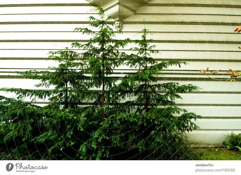 Vorgarten Haus Stadthaus Vorstadt Fassade Putz bossenputz Detailaufnahme Relief Statue alkoven Baum Nadelbaum Weihnachtsbaum Tanne Fichte Streifen Furche