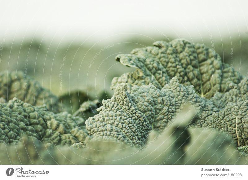 Eintopf Farbfoto Außenaufnahme Detailaufnahme Menschenleer Gemüse Bioprodukte Vegetarische Ernährung Pflanze Blatt Nutzpflanze Feld Wachstum Kohl Wirsing