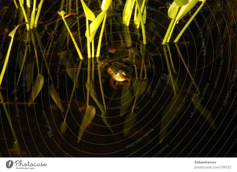 Ein Frosch Wasser Teich Kröte Wasserpflanze Quaken Fischteich