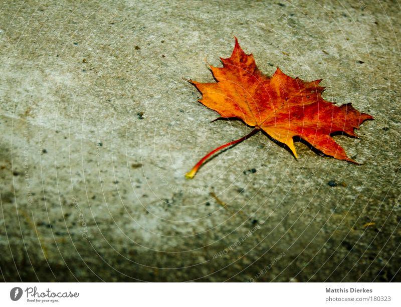 Ahorn Blatt Zacken Bodenbelag Stengel Beton Einsamkeit einzeln einzigartig gold goldgelb Schimmelpilze trist Herbst schön Ahornblatt Verfall Ende herbstlich