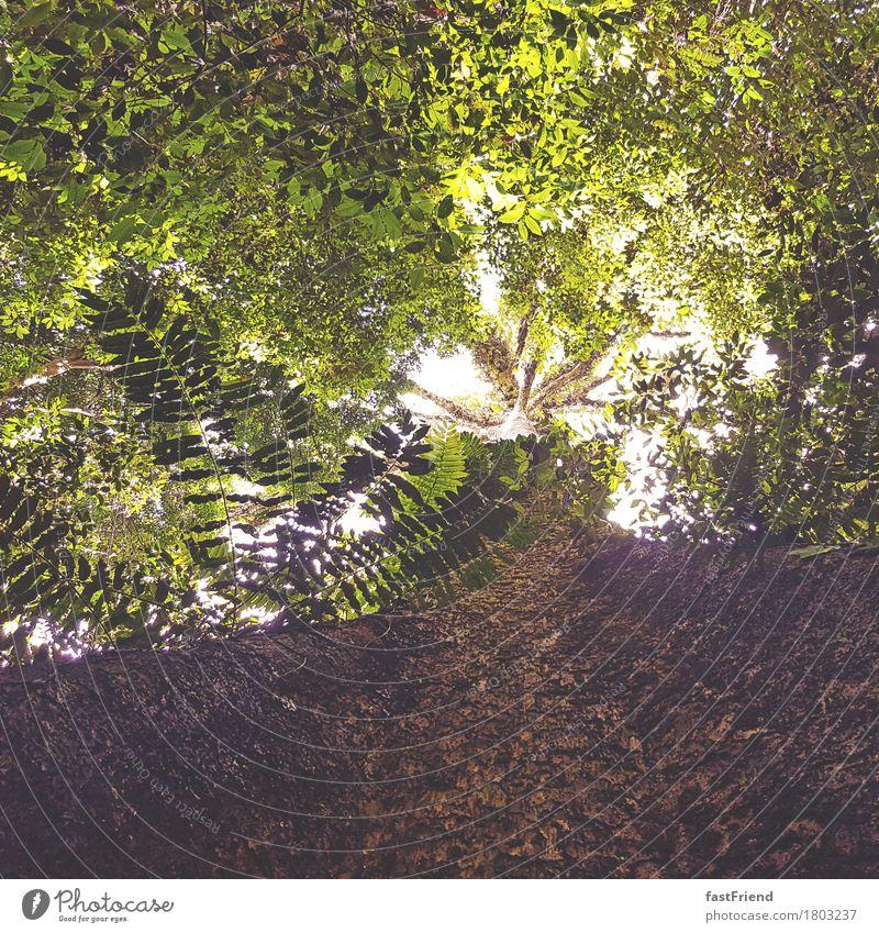 Urwaldriese Umwelt Natur Pflanze Baum Farn Blatt groß Unendlichkeit hell hoch braun grün Leben Baumrinde Baumstamm Blätterdach Malaysia Farbfoto Außenaufnahme