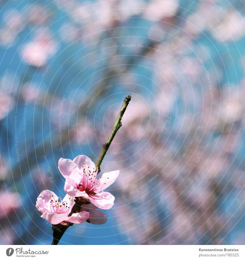 Cherry Blossom Special Farbfoto Außenaufnahme Textfreiraum rechts Textfreiraum oben Tag Unschärfe Natur Frühling Pflanze Baum Blüte Kirschblüten Kirschbaum Ast