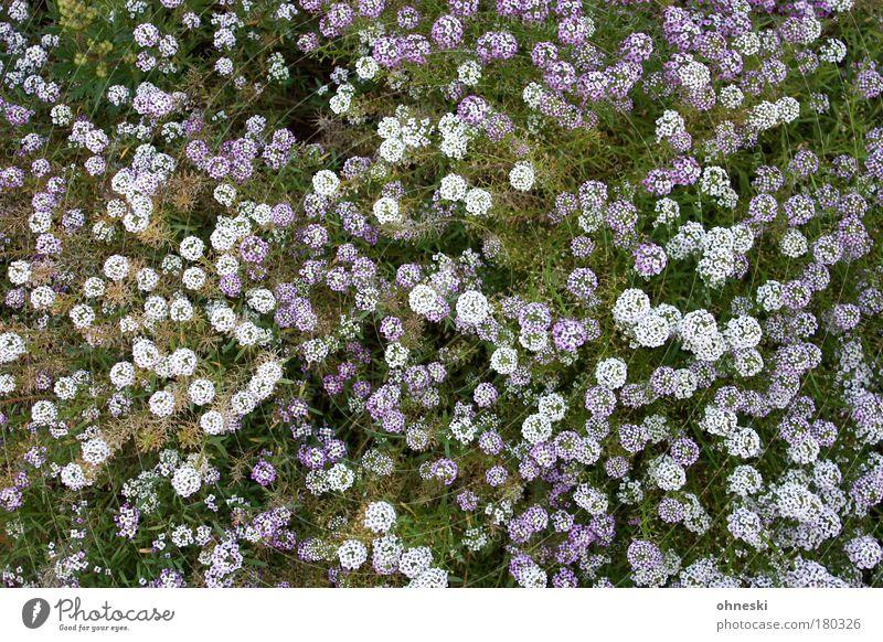 Blühen Natur weiß Blume grün Pflanze Leben Wiese Blüte Erde violett Vogelperspektive Blühend Frühlingsgefühle