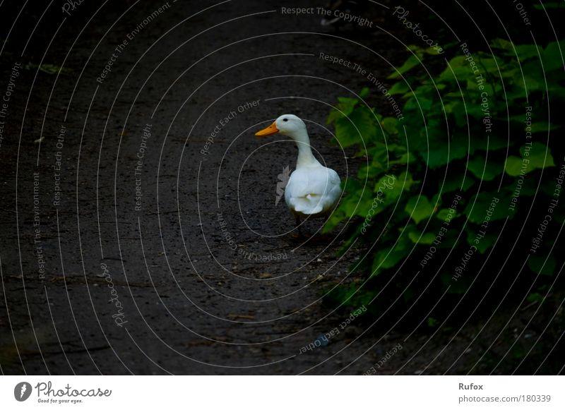 Allein auf der Suche Farbfoto Außenaufnahme Textfreiraum unten Tag Tierporträt Natur Sträucher Wildtier Vogel Gans Ente 1 beobachten wandern Heimweh Angst