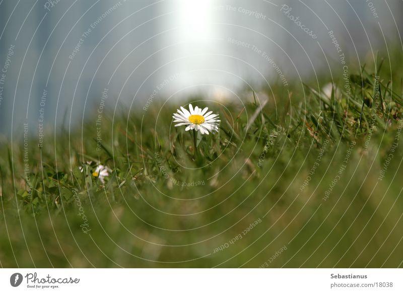 Bellis perennis Pflanze Gänseblümchen Blume Wiese Rasen Makroaufnahme
