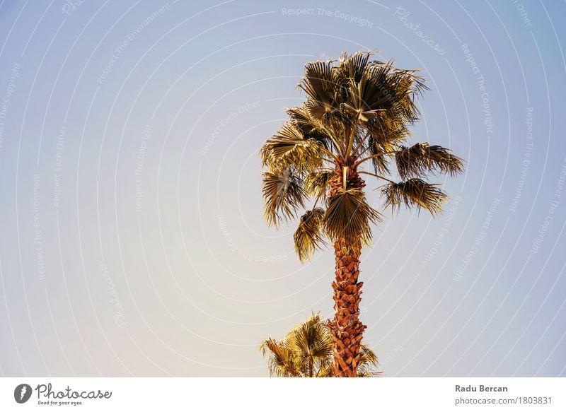Grüne Palmen auf klarem blauem Himmel exotisch Ferien & Urlaub & Reisen Tourismus Sommer Sonne Strand Insel Umwelt Natur Landschaft Pflanze Baum Blatt Wüste