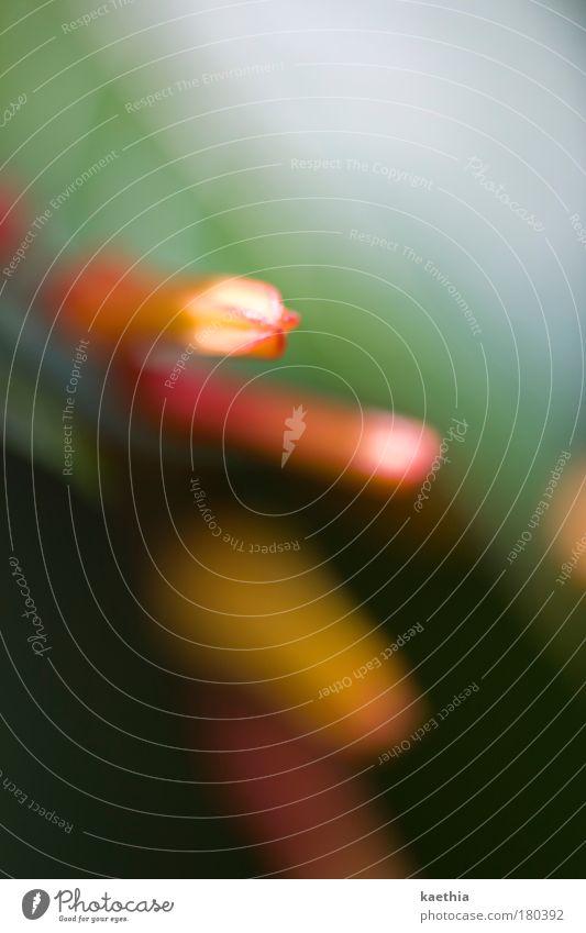 der sonne entgegen! exotisch Natur Pflanze Blume Blüte Blühend leuchten ästhetisch hell grün rot Umwelt orange Lichterscheinung Stengel Farbfoto Außenaufnahme