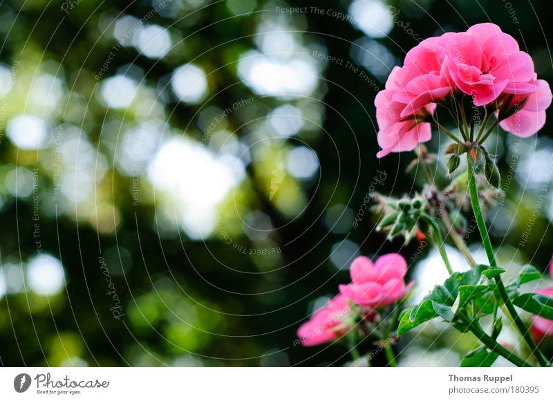Geranie Farbfoto Außenaufnahme Detailaufnahme Menschenleer Textfreiraum links Tag Gegenlicht Schwache Tiefenschärfe Umwelt Natur Pflanze Sommer Herbst Wetter