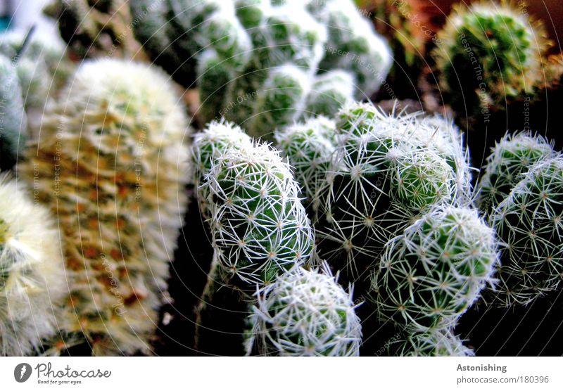 Kaktussis Umwelt Natur Pflanze Grünpflanze Topfpflanze Wachstum stachelig braun grün Stachel Pflanzenarten Farbfoto Innenaufnahme Makroaufnahme Menschenleer