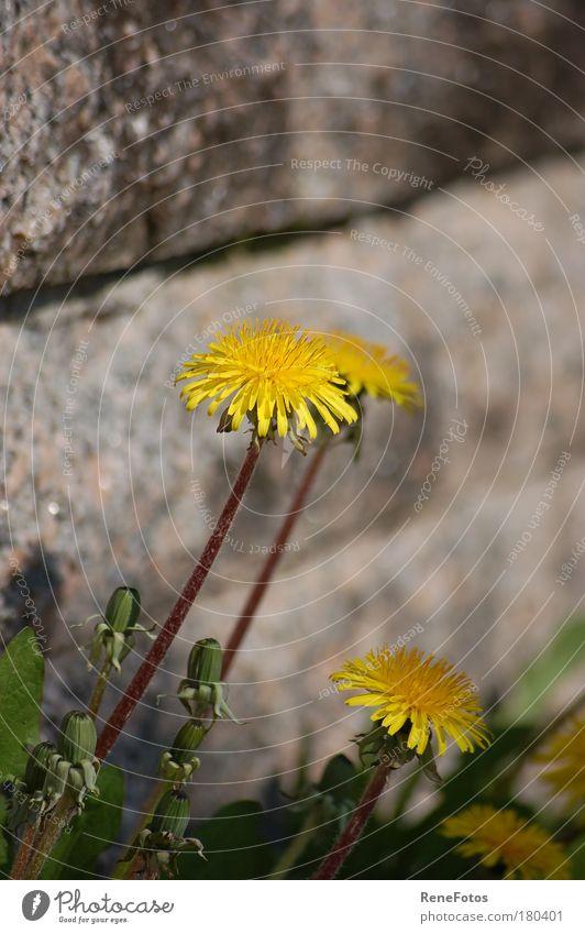 """""""Mauerblümchen"""" Farbfoto Nahaufnahme Tag Schwache Tiefenschärfe Zentralperspektive Sommer Schönes Wetter Pflanze Blume Blüte Wildpflanze Park Wand ästhetisch"""