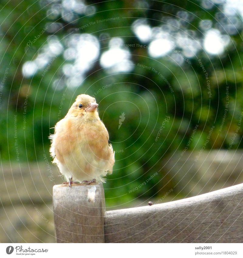 teilst du deinen Keks mit mir...? Tier Vogel 1 beobachten hocken Blick warten frech einzigartig Neugier niedlich gelb orange Appetit & Hunger betteln Stuhl Holz