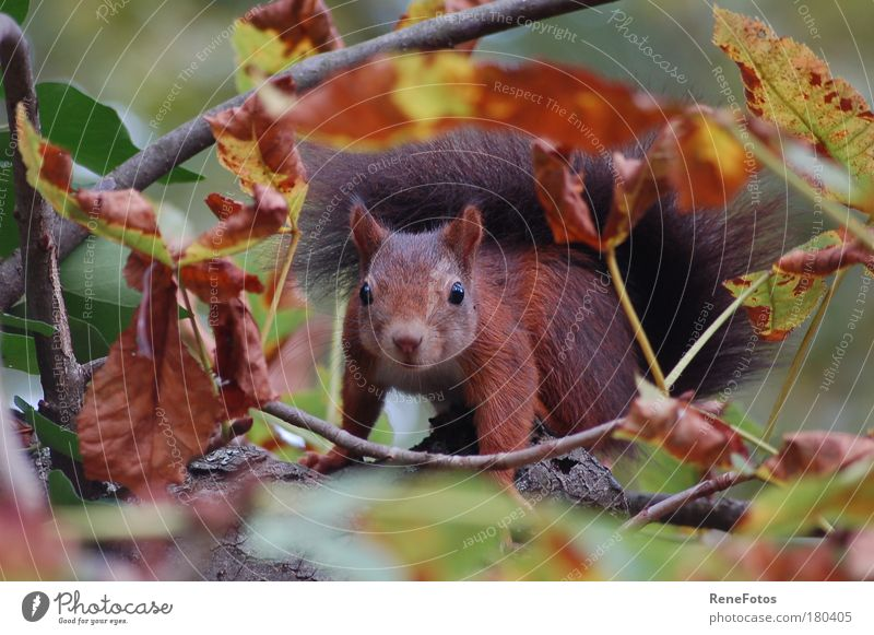 Blickkontakt schön Baum Tier gelb Herbst braun warten sitzen beobachten Ast Neugier Konzentration Wildtier niedlich Wachsamkeit Herbstlaub