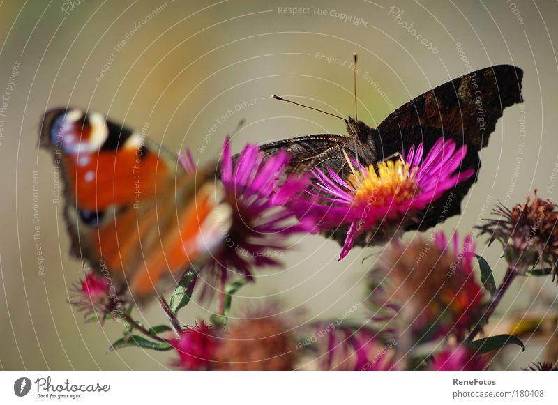 zwei Schmetterlinge schön Sommer Ernährung Tier Wiese Blüte Park Zusammensein Feld Tierpaar violett Makroaufnahme Wachsamkeit Schönes Wetter sommerlich