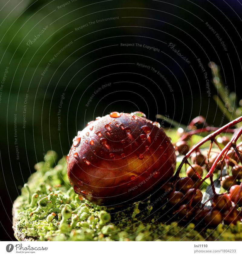 Kastanie Pflanze Sonnenlicht Herbst Schönes Wetter Garten Wald glänzend schön kalt nass natürlich rund braun grün rot schwarz weiß Tau herbstlich Holunderbeeren