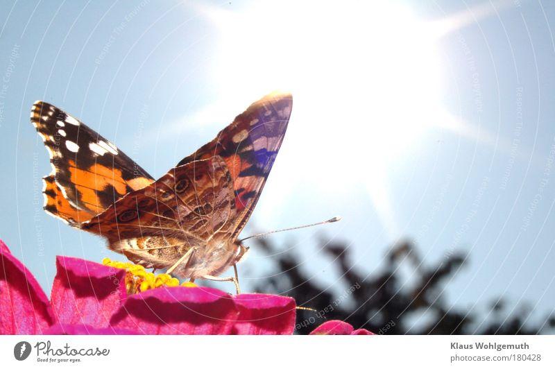 Distelfalter Himmel Natur blau weiß Sommer Pflanze rot Sonne Blume Tier schwarz gelb Wiese Blüte braun rosa