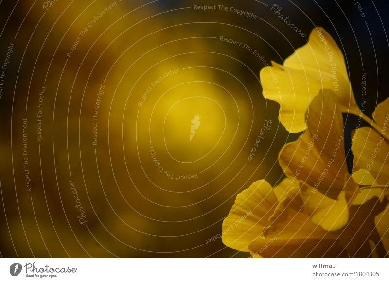 Gingkogold Herbst Ginkgo gelb sanft herbstlich Blatt Natur Pflanze Farbfoto Außenaufnahme