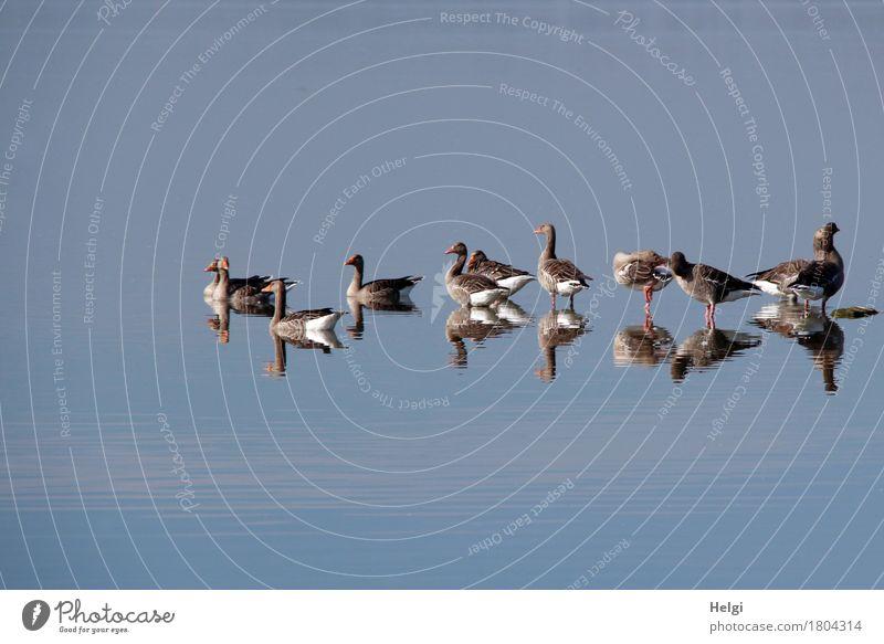 ich seh doppelt... Umwelt Natur Tier Wasser Herbst Schönes Wetter See Dümmer See Wildtier Vogel Gans Graugans Tiergruppe Schwimmen & Baden beobachten Blick