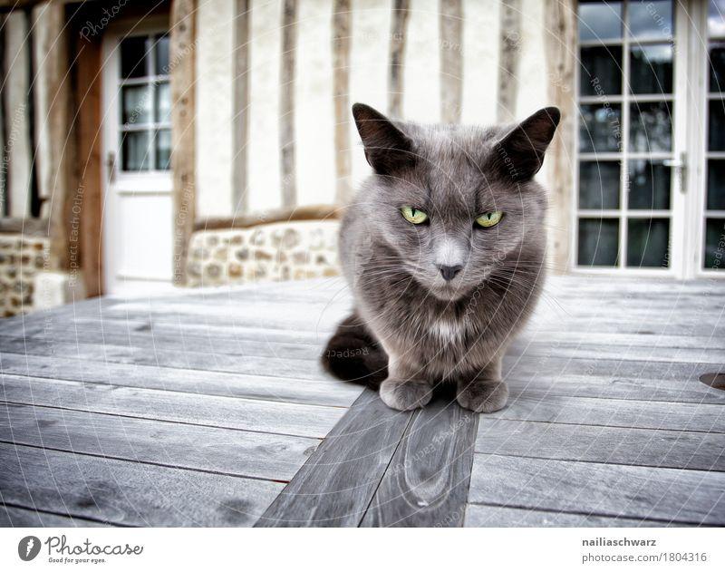 der Chef Tier Haustier Katze Tiergesicht 1 Holz beobachten Blick sitzen bedrohlich frech kuschlig Neugier Geschwindigkeit seriös weich grau Stimmung Coolness