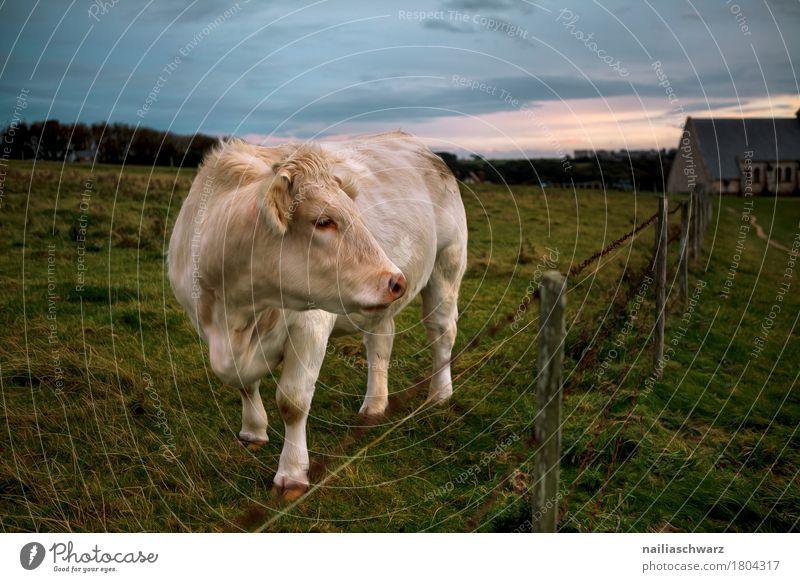 Kuh auf der Weide Natur Meer Landschaft Tier Umwelt Wiese natürlich Gras Küste Stimmung Horizont Feld Idylle beobachten Freundlichkeit Hügel