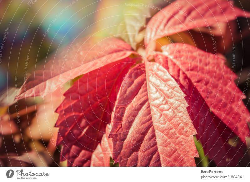 Weinblatt (wild) Umwelt Natur Herbst Klima Schönes Wetter Pflanze Blatt Wildpflanze Garten Wald leuchten rot Farbe Wachstum Wandel & Veränderung Wilder Wein