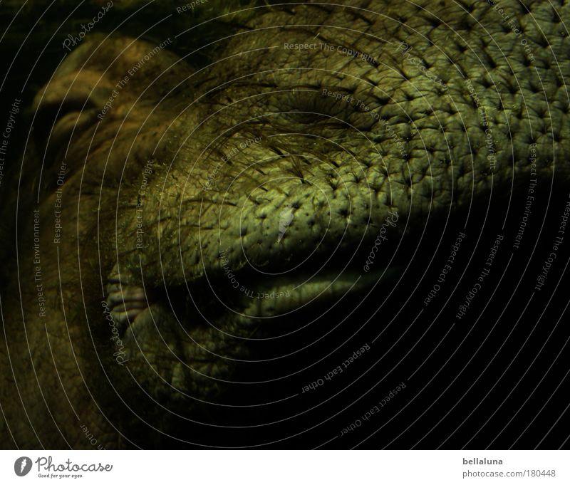 Happy Hippo Wasser Freude Tier Erholung Auge Unterwasseraufnahme Umwelt Haare & Frisuren Zufriedenheit Nase Behaarung Wildtier schlafen Tiergesicht Tierhaut Zoo