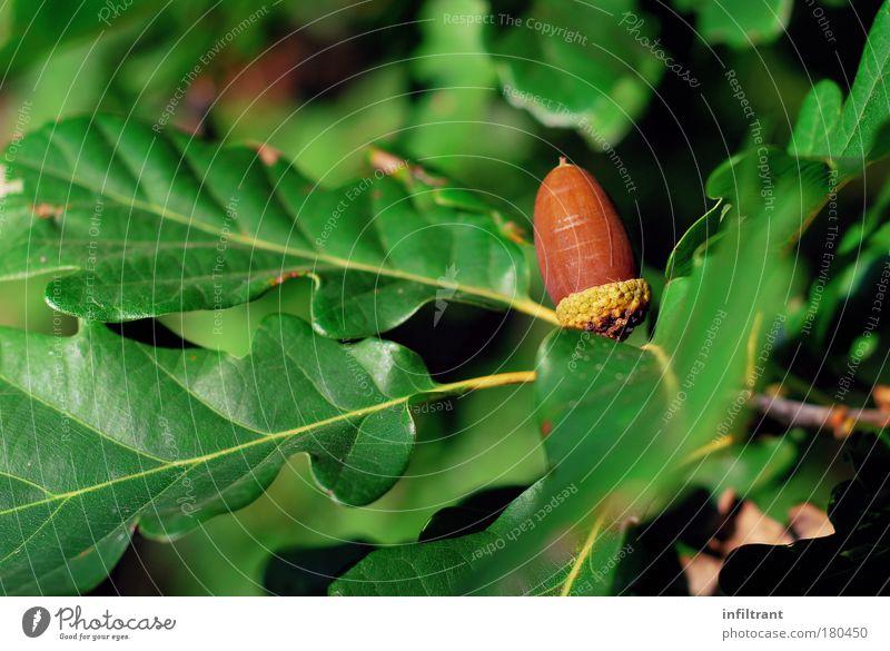 es wird Herbst Farbfoto Außenaufnahme Nahaufnahme Menschenleer Textfreiraum links Tag Natur Pflanze Baum Blatt natürlich braun grün Kraft ruhig Umweltschutz