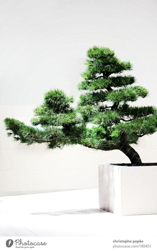Stammbaum (Shakan) alt weiß Baum Pflanze Asien ruhig Wand Mauer Wachstum einfach Mensch Japan Dürre Zen Kiefer Grünpflanze
