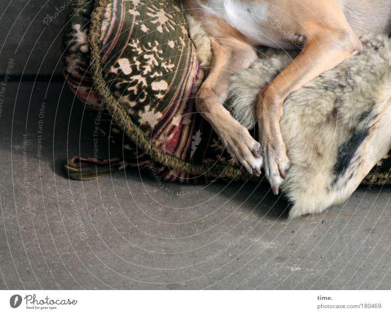 Träumen von den ewigen Jagdgründen alt Erholung Garten Hund Beine Pause liegen Sofa Fell Müdigkeit Terrasse Pfote Decke Kissen Tier Möbel
