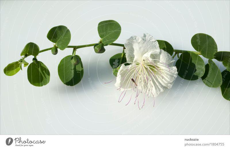 Caper; Capparis; spinosa Kräuter & Gewürze Sträucher Blüte weiß Kapernblueten Kapernstrauch Blütenknospen Kapernpflanze Heilpflanzen Küchenkräuter Friesteller
