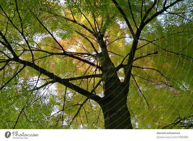 grüngelber Herbst von unten Froschperspektive Umwelt Natur Baum Park Wald Farbe Vergänglichkeit Wachstum