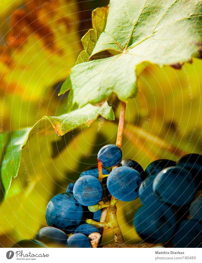 Trauben Weinblatt Blatt Sommer Weinlese Stengel Sträucher Ranke Gegenlicht grün Weinbau Weinberg Weintrauben Alkohol Ernte grünlich Lampe leuchten