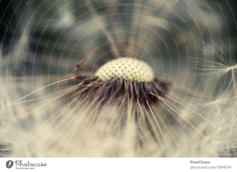 Pusteblume schön Kosmetik Parfum Gesundheit Ferien & Urlaub & Reisen Sommer Landwirtschaft Forstwirtschaft Natur Landschaft Pflanze Blume Blüte Garten Wiese