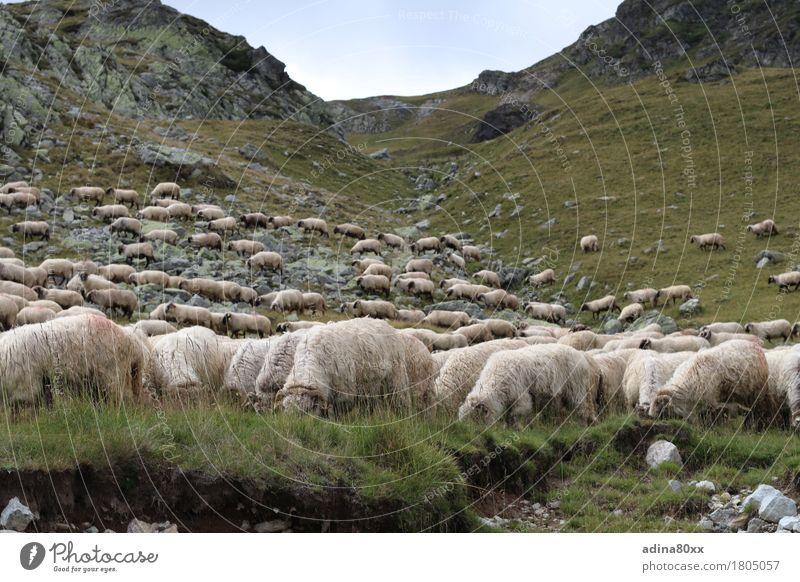 Schafherde in den Karpaten Landwirtschaft Forstwirtschaft Natur Landschaft Tier Sommer Hügel Berge u. Gebirge Herde Erholung Fressen füttern Zufriedenheit