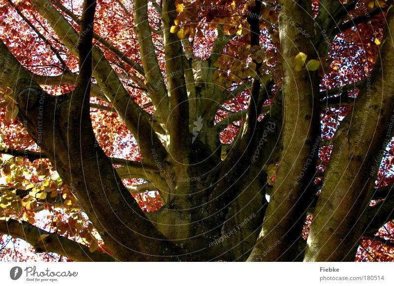 Herbstanfang Farbfoto Außenaufnahme Menschenleer Tag Licht Schatten Umwelt Natur Himmel Baum Blatt Park alt herbstlich Blätterdach Falle färben braun Holz Ast