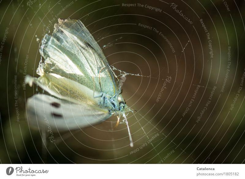 Hineingeflattert Natur Sommer Garten Tier Schmetterling 1 Spinnennetz kämpfen dehydrieren bedrohlich braun gelb weiß Mitgefühl gefährlich Tod Gefangen Farbfoto