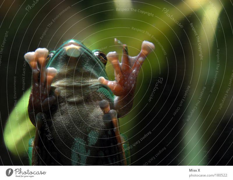 für Froggy ;-) grün Pflanze Tier Umwelt klein Wetter Klima Wildtier Küssen Zoo Urwald Frosch Beruf Umweltschutz Ekel Glasscheibe