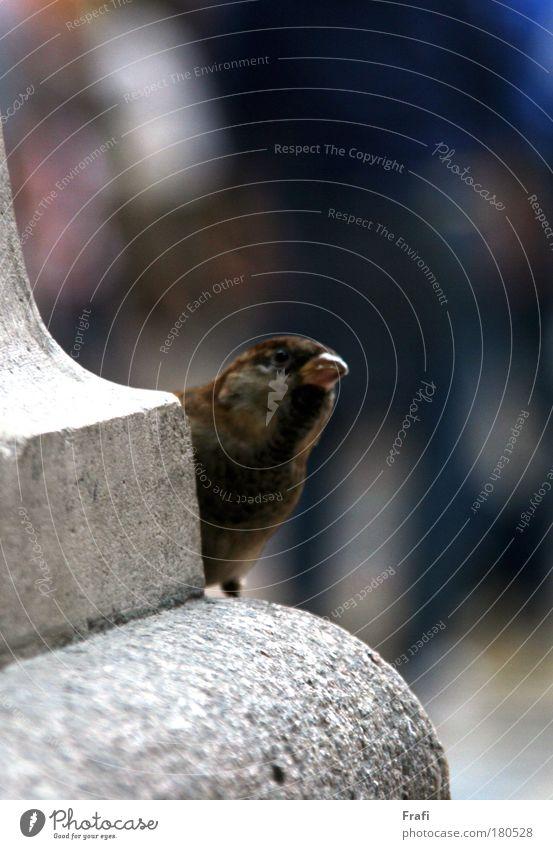 Da schaut er um die Ecke... Farbfoto Außenaufnahme Innenaufnahme Nahaufnahme Tag Zentralperspektive Tierporträt Wildtier Vogel 1 atmen genießen niedlich Spatz