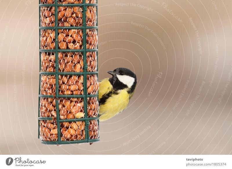 hungrige Kohlmeise auf Vogelhäuschen Natur Farbe schön Tier Winter schwarz gelb natürlich klein Garten wild sitzen Feder Beautyfotografie Europäer
