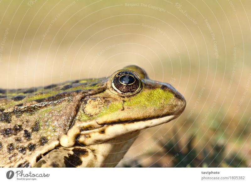 Porträt von Sumpffrosch Garten Natur Tier Teich See natürlich schleimig wild braun grün Farbe Frosch Unke Pelophylax ridibundus Auge Fauna Tierwelt Rana