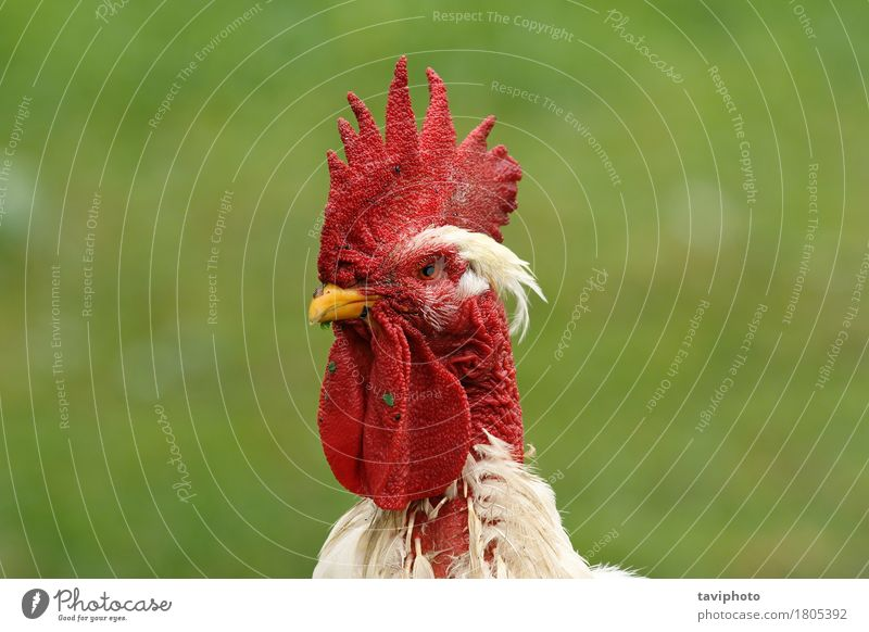 weißes Hahnportrait Natur Mann schön rot Tier Erwachsene natürlich Garten Vogel stehen Feder Lebewesen Bauernhof Ackerbau Schnabel