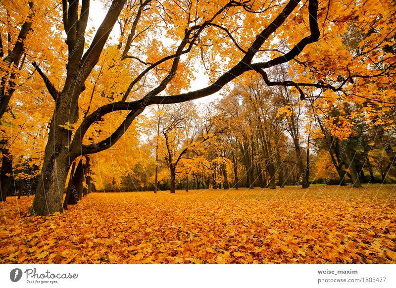 Bunter Park des Herbstes Oktober Ferien & Urlaub & Reisen Tourismus Ausflug Umwelt Natur Landschaft Pflanze Baum Blatt Wald frisch hell natürlich braun gelb