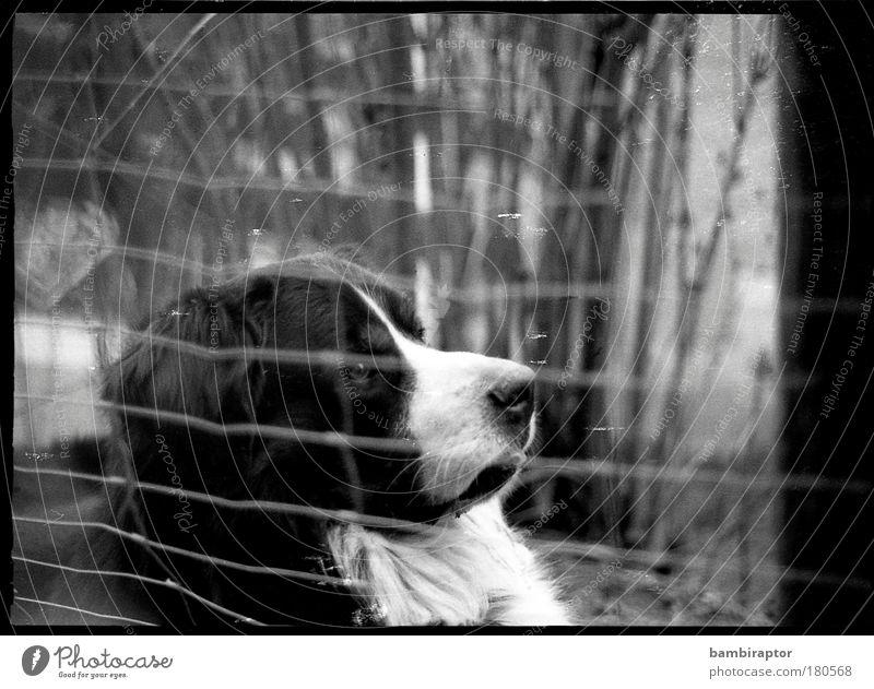 http://www.photocase.de/de/photodetail.asp?i=115735 Tier Hund Fell analog Zaun Haustier Bär Schnauze Berner Sennenhund