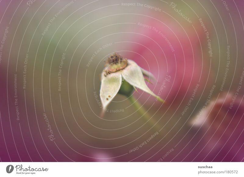 die inneren werte zählen Natur schön alt Blume Pflanze Sommer Herbst Traurigkeit Umwelt Rose Wachstum authentisch Wandel & Veränderung Vergänglichkeit hässlich