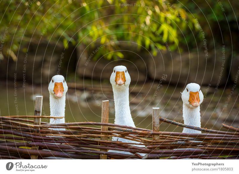 Drei lustige weiße Gänse Freude Gesicht Landwirtschaft Forstwirtschaft Landschaft Nutztier Vogel Tiergesicht 3 Tiergruppe Holz beobachten Denken Blick Spielen